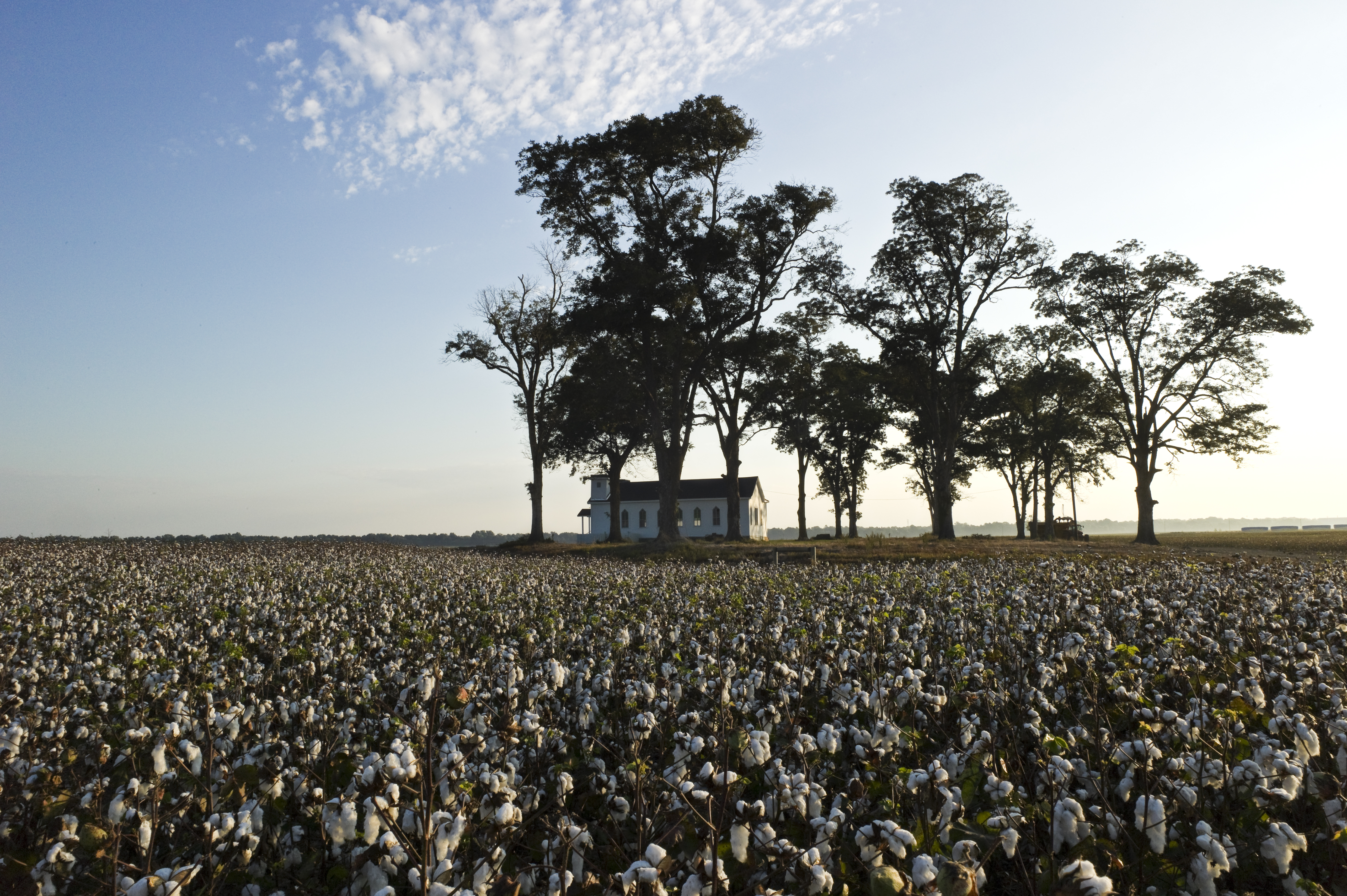 A small white chapel sits in a small grove of trees in the middle of a field of cotton.